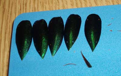 Preparing Beetle Wings for Embroidery
