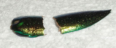 Beetle Wings for Embroidery Embellishment