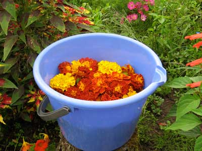 Marigold Blooms for Natural Dyed Embroidery Threads